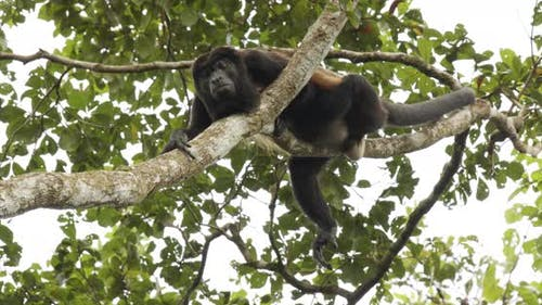 Mantled Howler Monkey Male Adult Lone Resting Looking Around On Branch Lazy