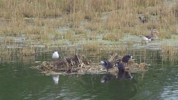 Thumbnail for Black-headed Gull Family