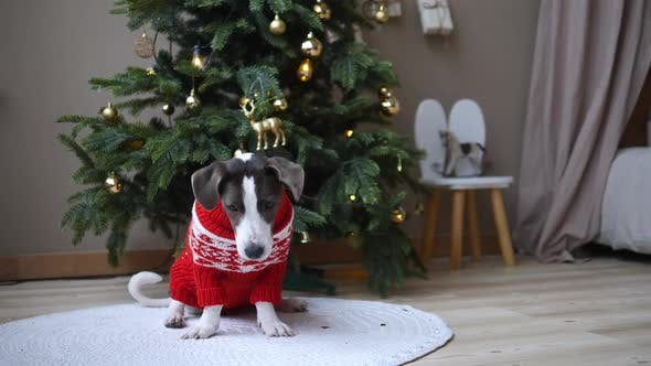 Trained Pedigree Retriever in Festive Red Sweater Catches Treat for Sit and Stay Commands with