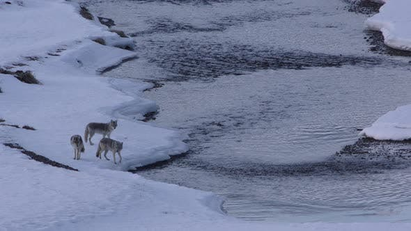 Thumbnail for Coyote Adult Immature Pack Several Standing Walking in Winter in Yellowstone National Park Wyoming