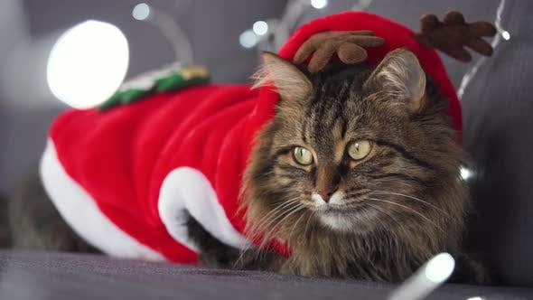 Thumbnail for Close Up Portrait of a Tabby Fluffy Cat Dressed As Santa Claus Lies on a Background of Christmas
