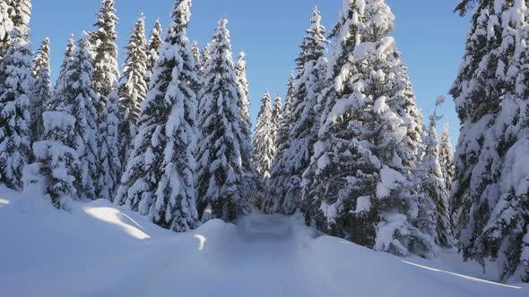 Movement on Winter Forest Road Among Snowcovered Firs