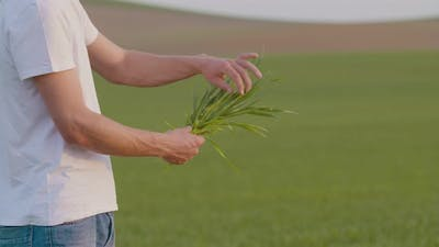 Agriculture - Farmer Examining Wheat Crops in Hands