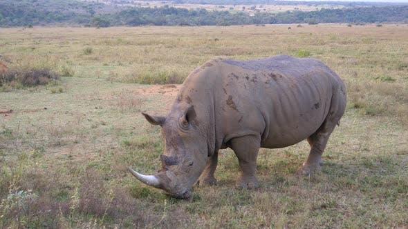 Thumbnail for White rhino eating grass in Waterberg