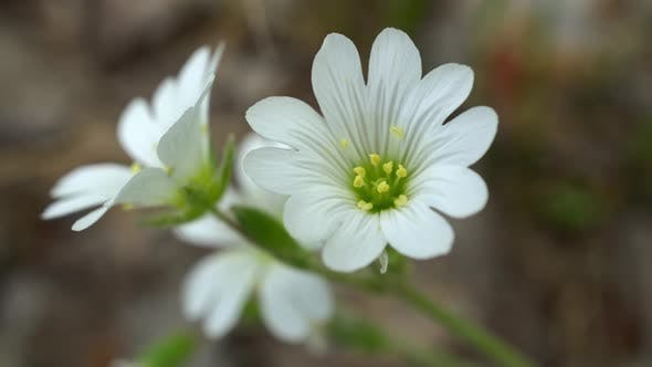 Cover Image for White Flowers In The Forest