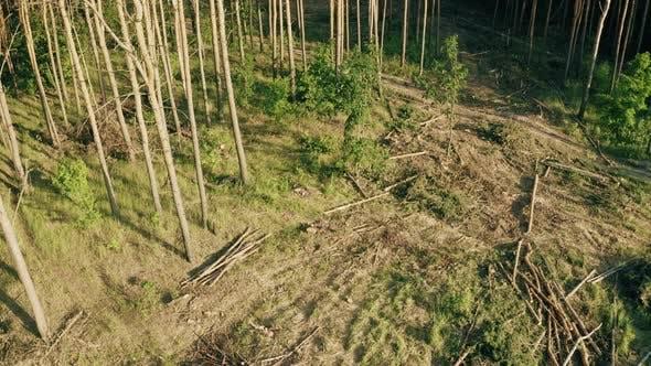Hartholz, Bauholz, gefallene Bäume Stämme im Bereich der Entwaldung. Kiefernwald-Landschaft im Sommertag