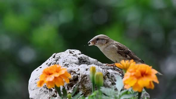 Sparrow bird eating in nature