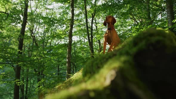 Thumbnail for Dog in a forest