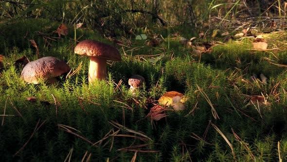 Boletus Edulis Mushroom Picked When Picking Mushrooms