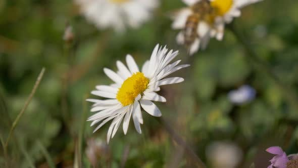 Honey Bee Daisy Meadow