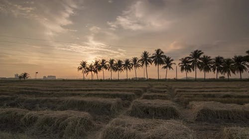 Timelapse sunset of rice paddy field roll to look congested