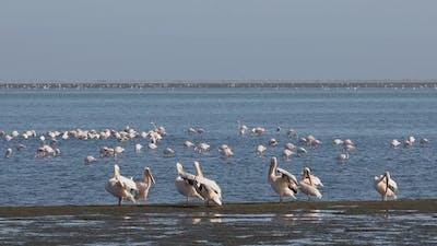 pelican colony in Walvis bay, Namibia wildlife