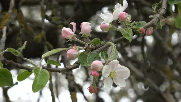 Thumbnail for Apple Blossom 1