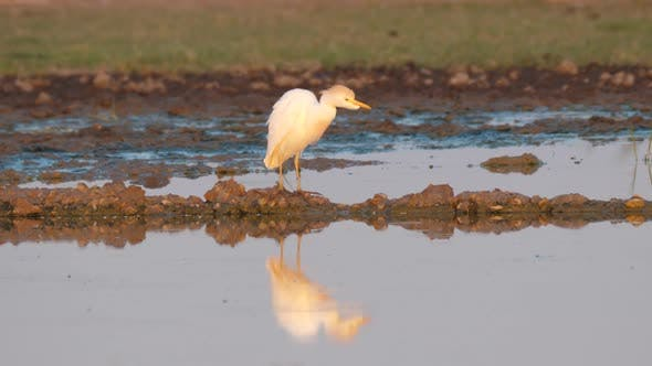 Thumbnail for Cattle Egret at A Pond