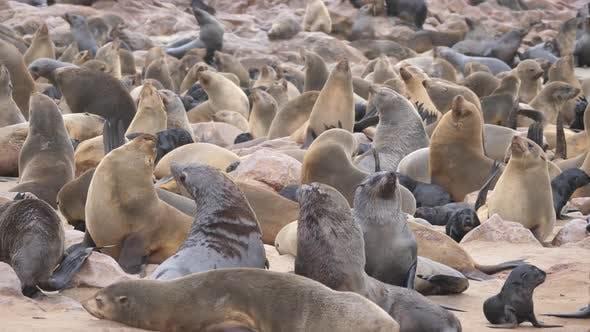 Sea lion colony at Cape Cross Seal Reserve