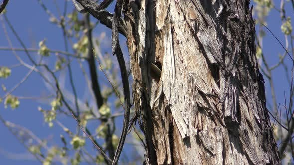 Thumbnail for Downy Woodpecker Male Nesting in Spring in Tree Cavity Hole