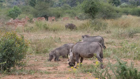 Thumbnail for Warthogs eating grass