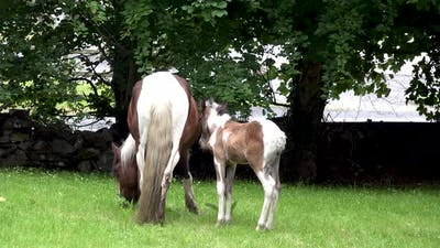 Horses Visiting Garden Ion Ireland  Mare and Freshly Born Baby Horse