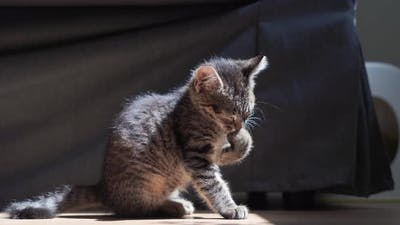 Small Beautiful Kitten at Home Washing Up