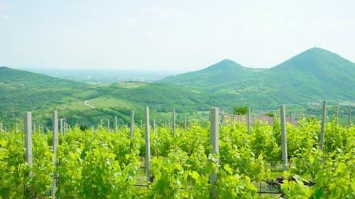 Euganean Hills of Veneto and Green Vineyards