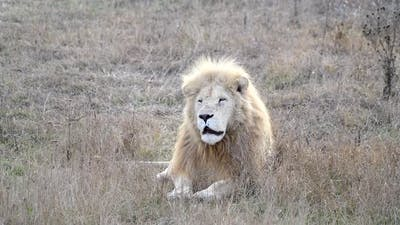 White Lion in Lions Pride in African Savannah