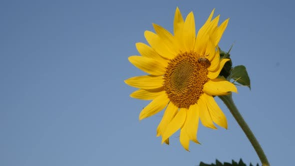Thumbnail for Beautiful sunflower and blue sky 4K 2160p 30fps  UltraHD footage - Close-up of bee over Helianthus p