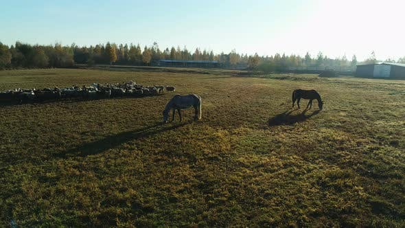 Thumbnail for Aerial View of Sheep Flock and Horses Grazing in the Farm Field