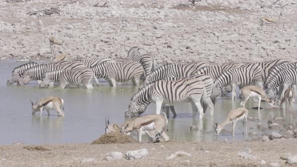 Zebras and Springboks at Waterhole