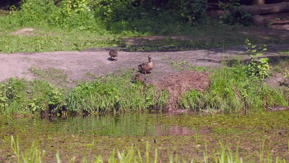 Wild ducks on the shore of a pond in nature, environment, camera movement