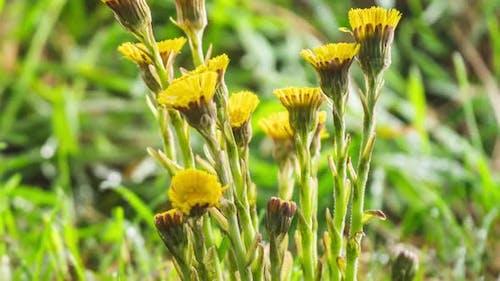 Detail der Frühlingskräuter Blumen Huflattich blüht auf frischer grüner Wiese
