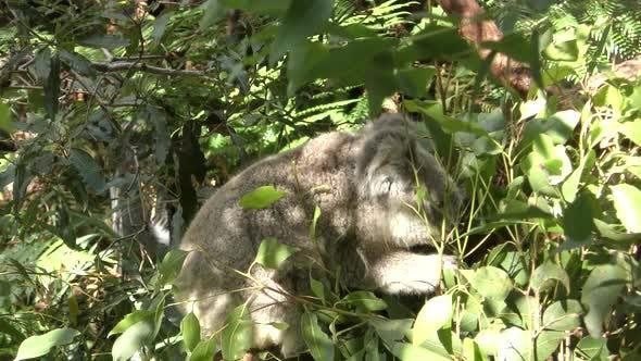 Thumbnail for Koala Adult Alone Eating Feeding Browsing