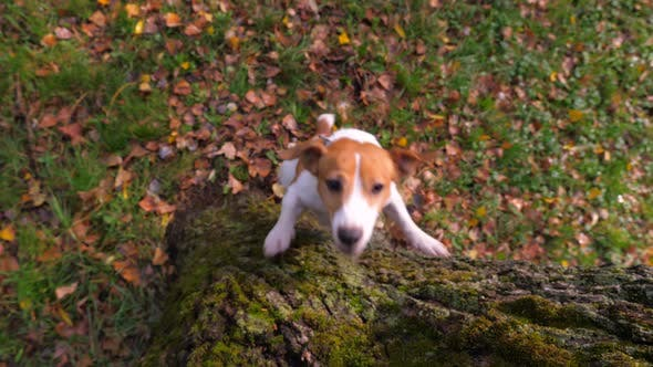 Thumbnail for Funny Jack Russell Terrier dog jumping on a tree in the park