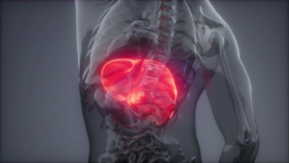 Human Liver Radiology Exam