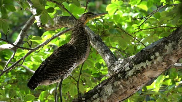 Thumbnail for Exotic Tropical Bare-throated Tiger Heron Bird in the Rain Forest