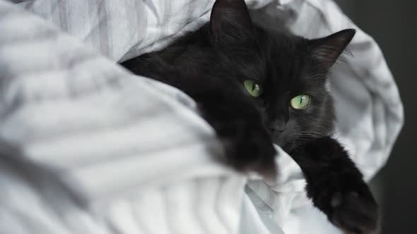 Thumbnail for Black Fluffy Cat with Green Eyes Lies Wrapped in a Blanket with Its Paws Out