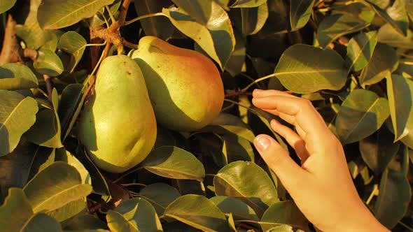 Thumbnail for Female Hand Picking Pear From Tree