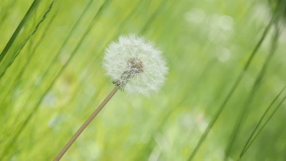 Thumbnail for Gentle Taraxacum flower in green environment natural  background  slow-mo 1920X1080 HD footage - Slo