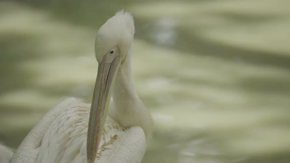 Thumbnail for Pelican on the Lake. Close-up