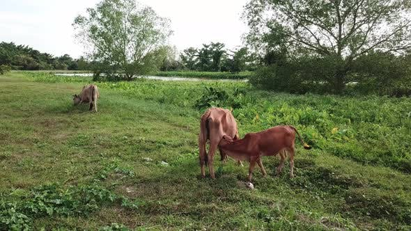 Mother cow feed milk to calf at rural area