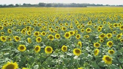 Beatiful Summer Sunflower Field