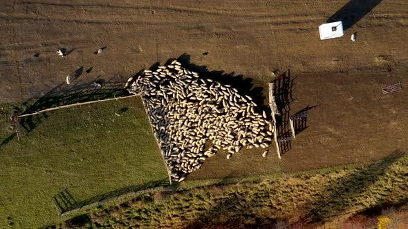 Flying Over Herd of Sheep Grazing in a Meadow Sheepfold