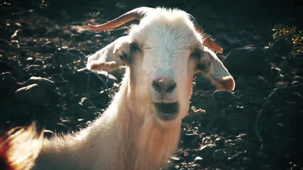 Thumbnail for Goat eating Grass and Looking at Camera.