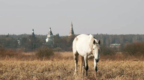 A Grazing Horse in a Pasture