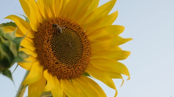 Beautiful   sunflower in the field 1080p FullHD footage - Slow motion Helianthus plant details with
