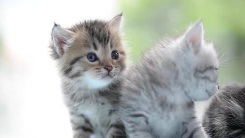 Cute Tabby Kittens Looking