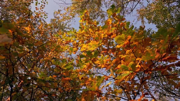 Thumbnail for Fall in Mixed Forest Details