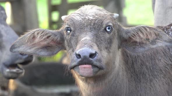 Buffalo cattle look at camera.