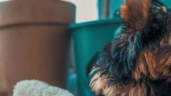 Thumbnail for Portrait of the Beautiful Yorkshire Terrier