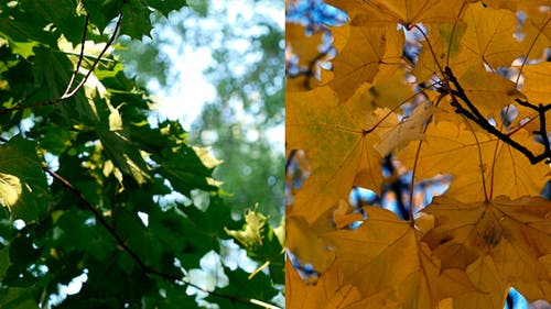 Spring Maple And Autumn Maple 2 In 1