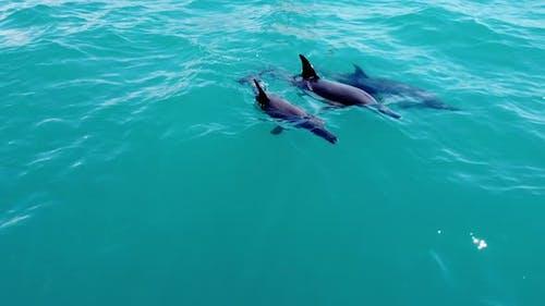 Three Dolphins Wild Aquatic Marine Animals Swimming in Blue Sea Ocean Water